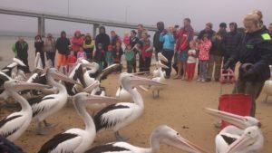 9. Feeding Pelicans