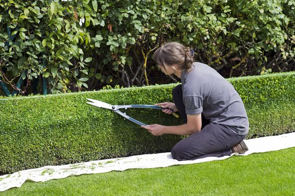 trimming a hedge.jpg